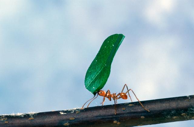 640px-Leaf-cutter_ant