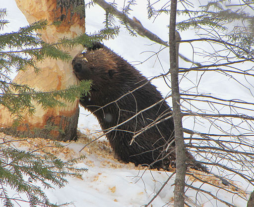512px-American_Beaver,_tree_cutting